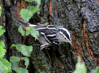 Riscadinha/ Black-and-white Warbler
